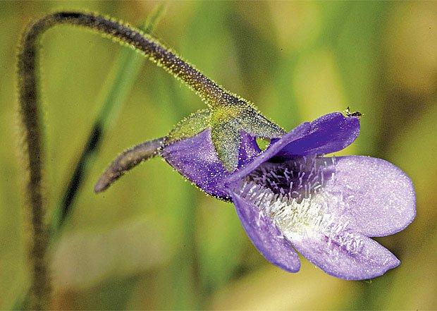 Masožravá rostlina Tučnice likviduje octomilky